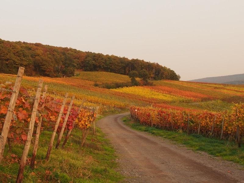 Ze zon gaat onder en legt een diep rode gloed over de kleurende wijnvelden.